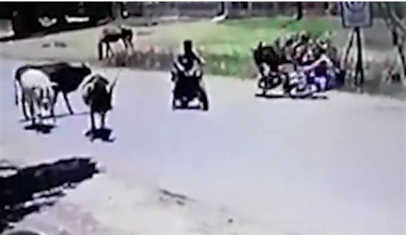 Корова, подпрыгнув, сбила мотоциклистку на землю