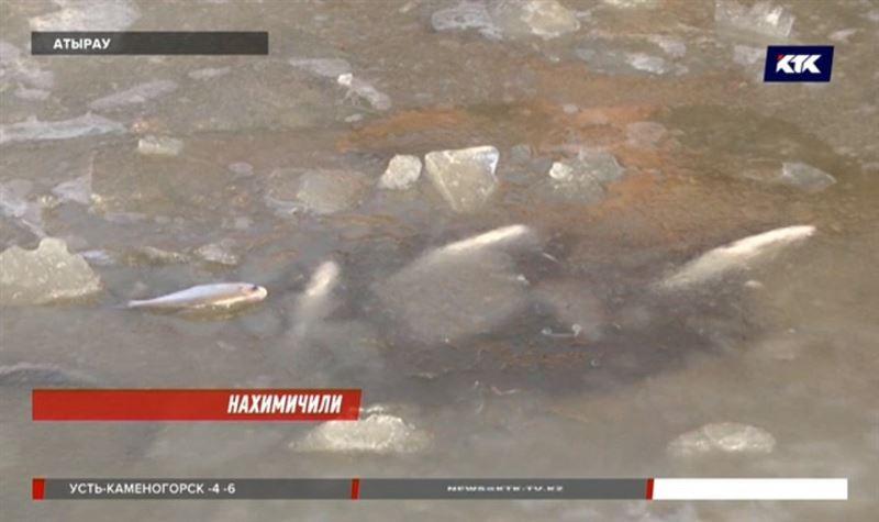 В погибшей атырауской рыбе обнаружен аммиак
