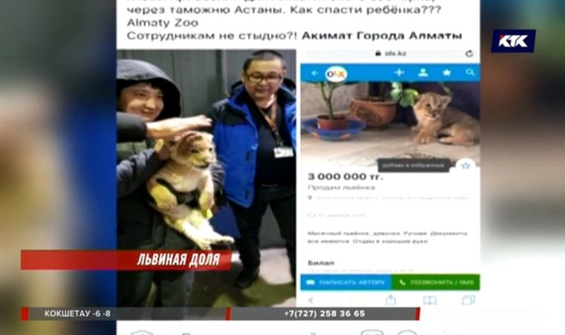 Отдам со скидкой: алматинец выставил на продажу льва
