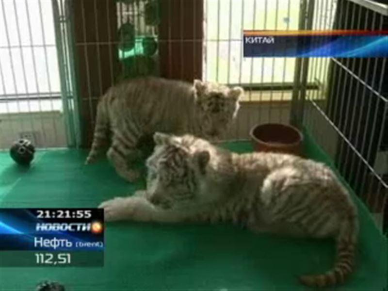 В китайском зоопарке родились белые тигрята