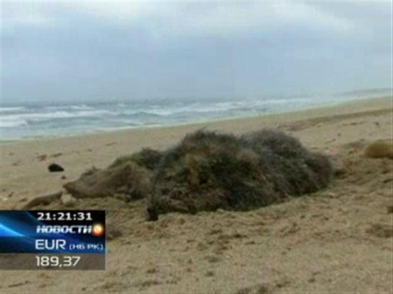 Мертвых морских котиков обнаружили на пляже в Австралии