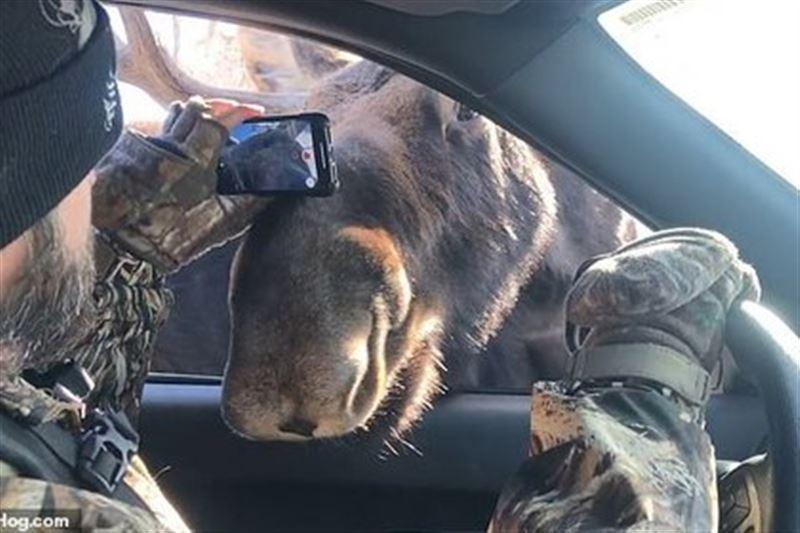 Дикие лоси засунули головы в автомобиль, чтоб обнюхать туристов