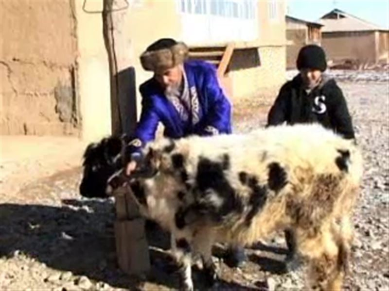В ЮКО появился на свет теленок, у которого шесть ног и три рога