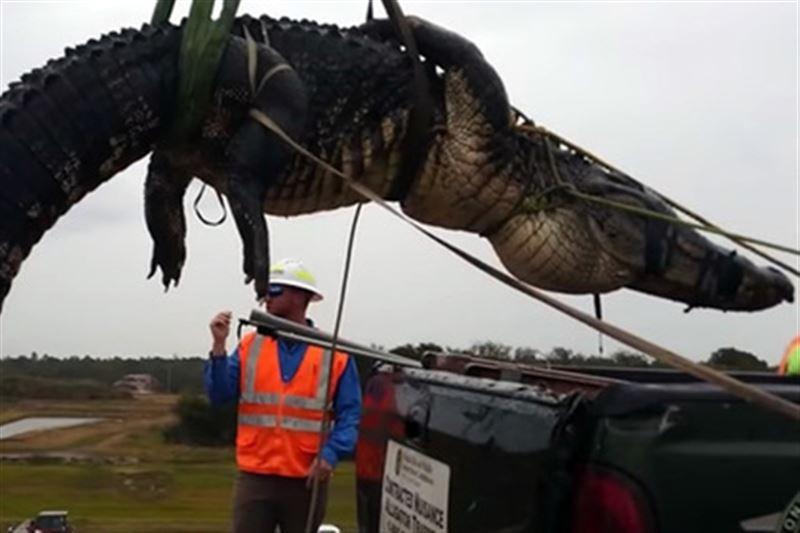Во Флориде поймали аллигатора, мешавшего работе водолазов