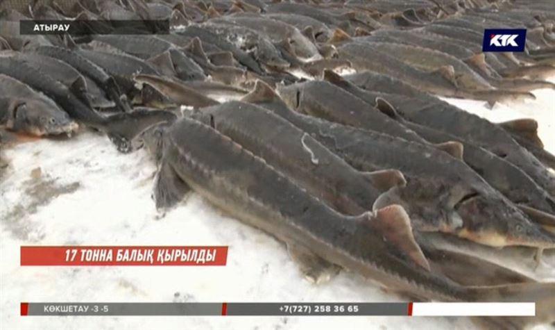 Атырауда қырылған бекірелердің жалпы көлемі 17 тоннаға жуықтады