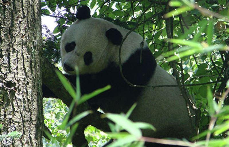 Дрались и кусались. В Китае две панды не смогли поделить одно дерево