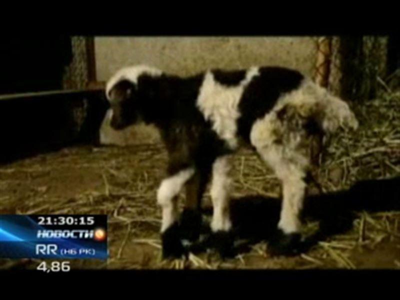 В Грузии родился двуполый ягненок с шестью ногами