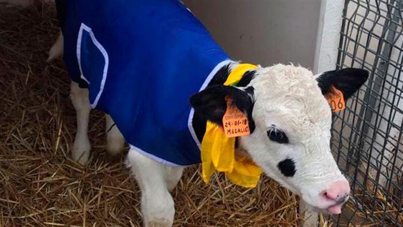 Из-за холодов в Италии фермеры надели на телят пальто