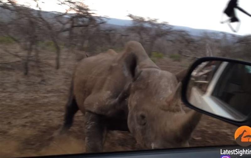 Носорог протаранил автомобиль в Южной Африке – видео