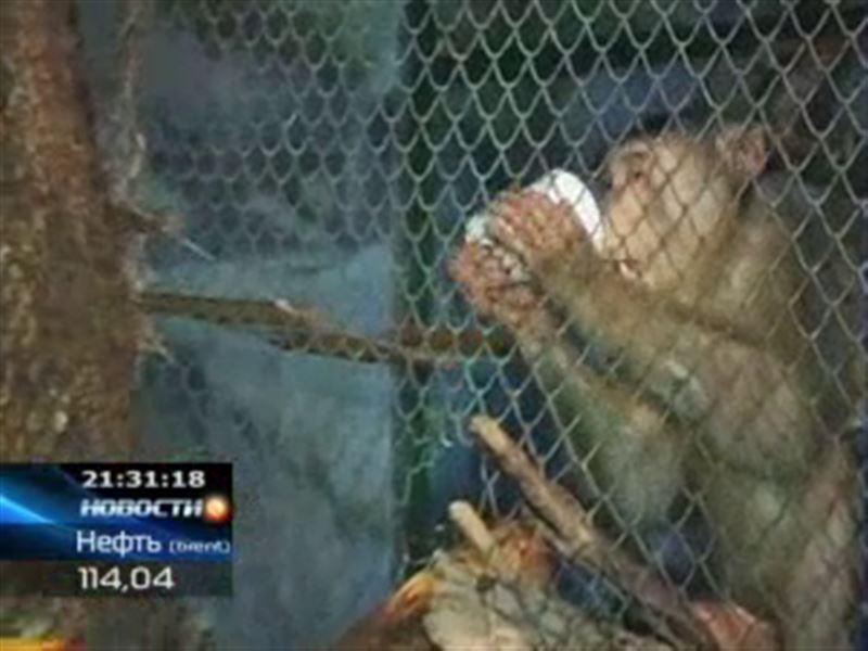 В карагандинском зоопарке в рацион обезьян ввели вино