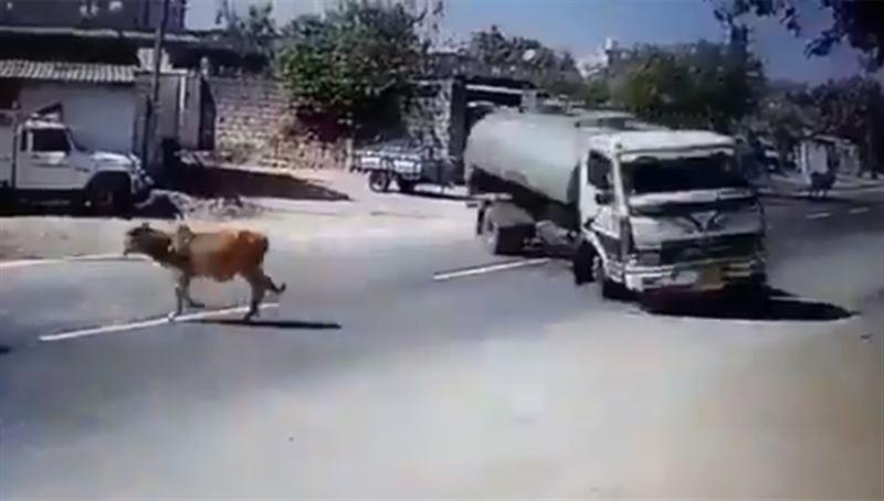 Индийский водитель спас священную корову от верной смерти