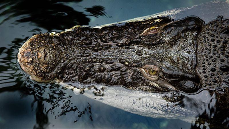Отец покусал крокодила, напавшего на его сына
