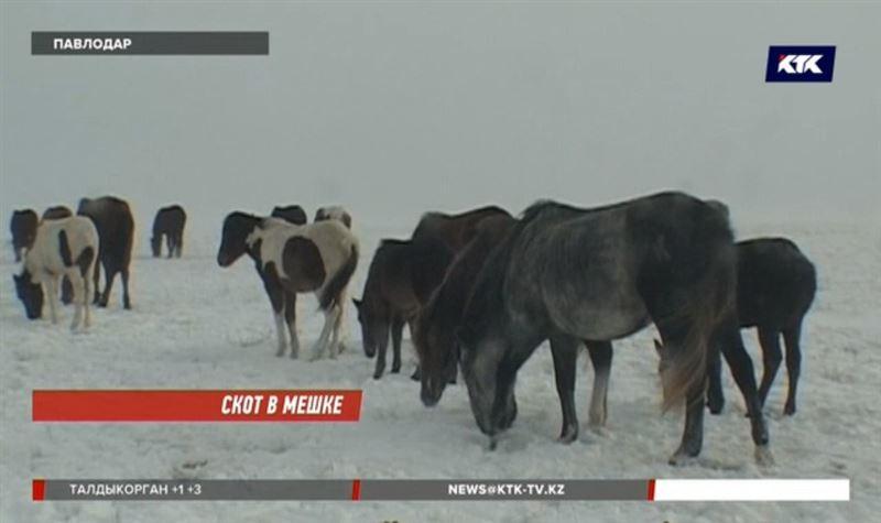 Павлодарские скотокрады разделывают туши прямо в сараях хозяев