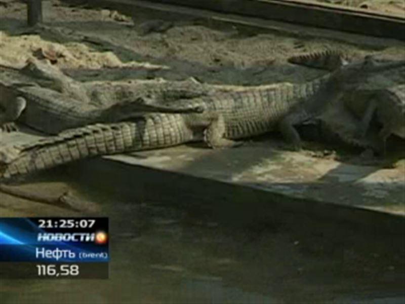 В Непале в дикую природу выпустили крокодилов