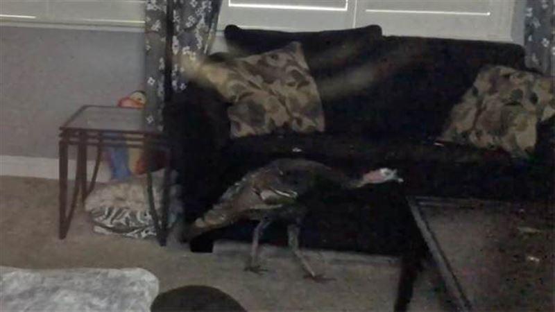 В США арестовали индейку, «вломившуюся» в чужой дом