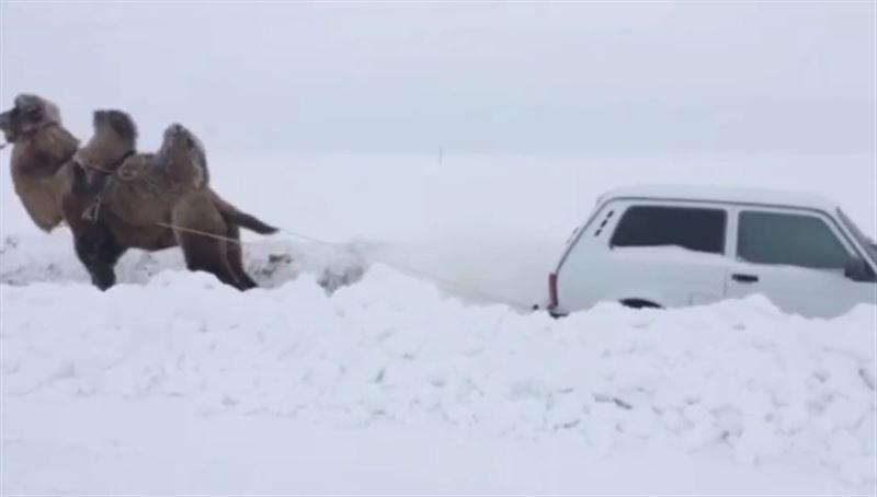 Видео с верблюдом-тягачом набирает популярность в Сети