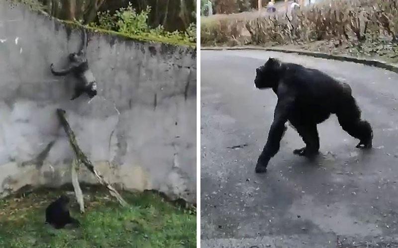 Побег шимпанзе из зоопарка: опубликовано видео