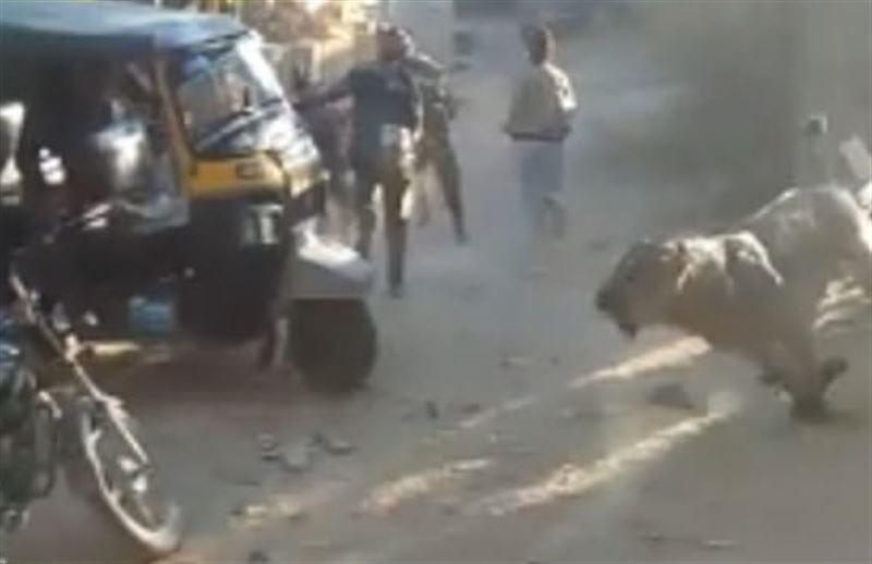 Лев напал на жителей деревни в Индии