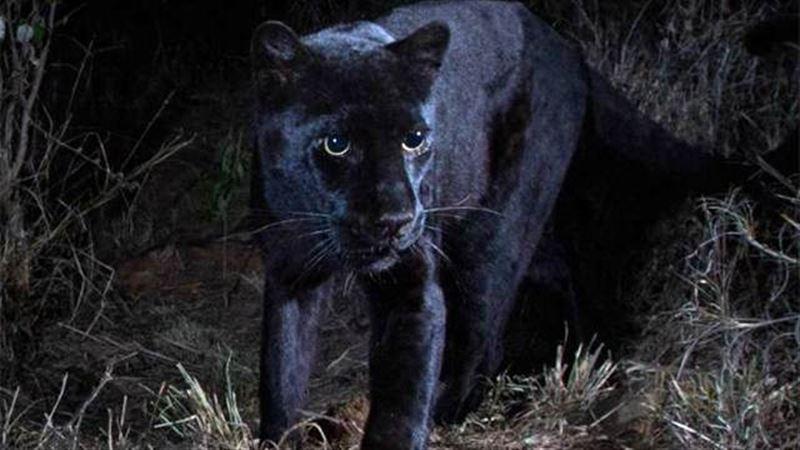 Черного леопарда впервые за сто лет сфотографировали в Африке