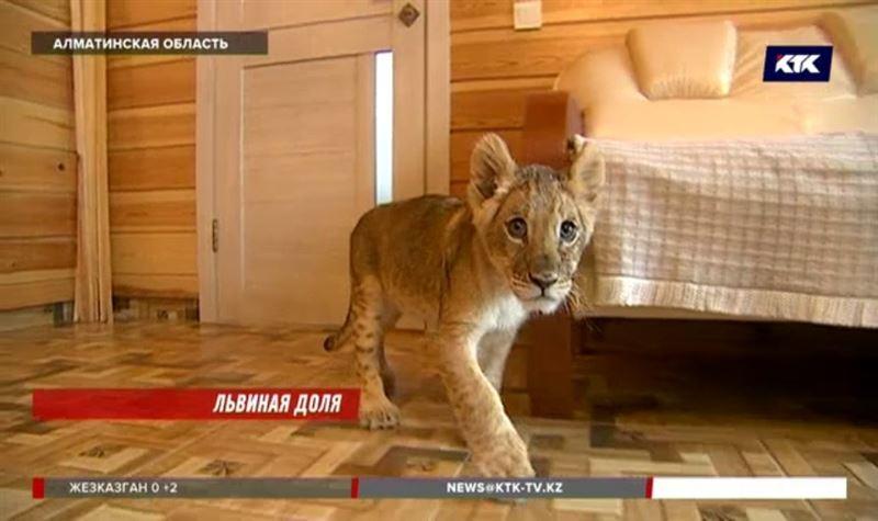 Львёнка сдавал в аренду для фотосессий житель Алматы