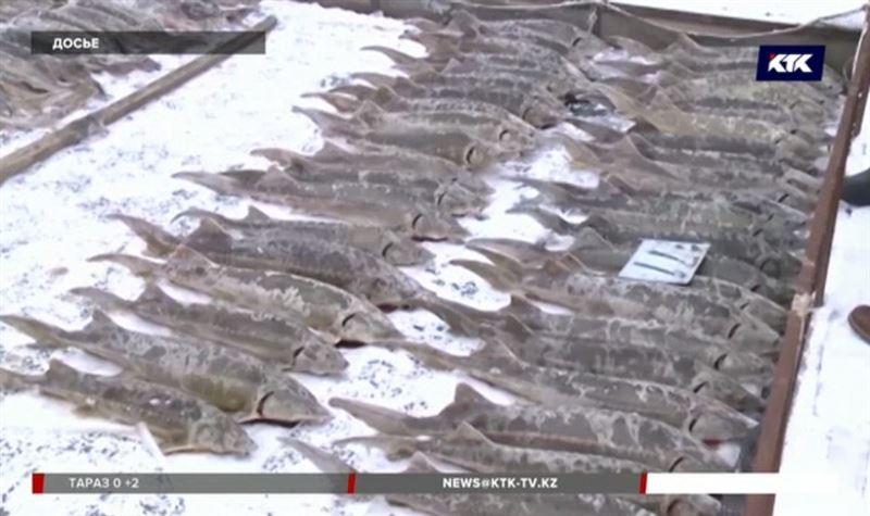 В Атырау сожгут 110 тонн осетра