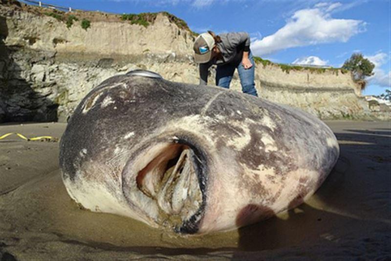Самую тяжелую рыбу в мире выбросило на побережье США