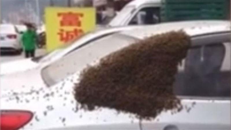 Пчёлы в Китае захватили автомобиль