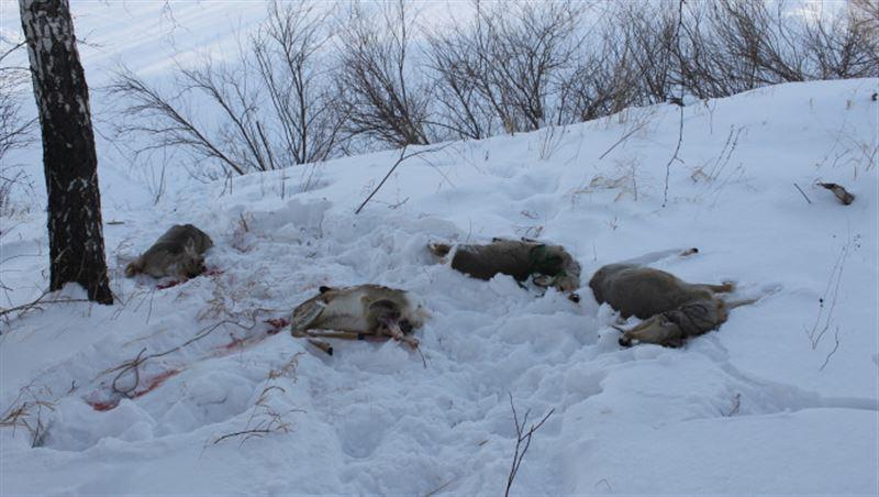 В СКО задержали браконьеров, застреливших сибирских косуль
