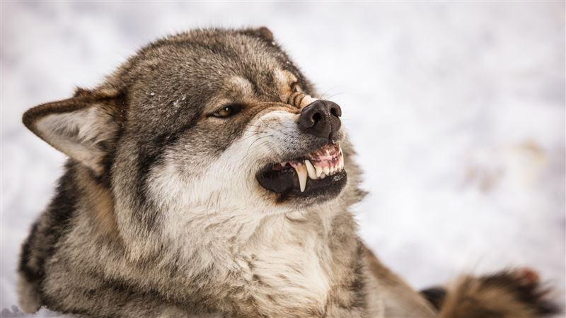 Две женщины стали жертвами нападения стаи волков