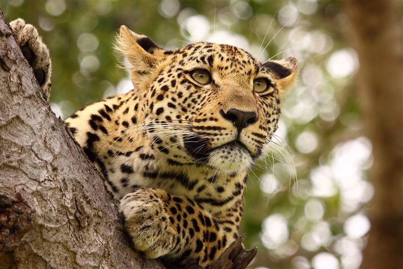 Леопард застрял на дереве во время охоты на обезьяну
