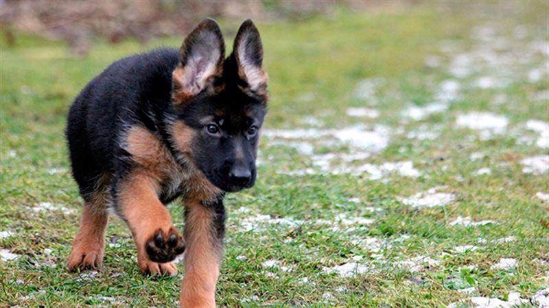 В Китае клонировали гениальную собаку-детектива