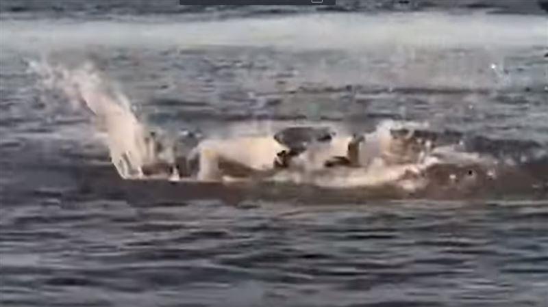 Видео сражения морского льва и леопардовой акулы появилось в Сети