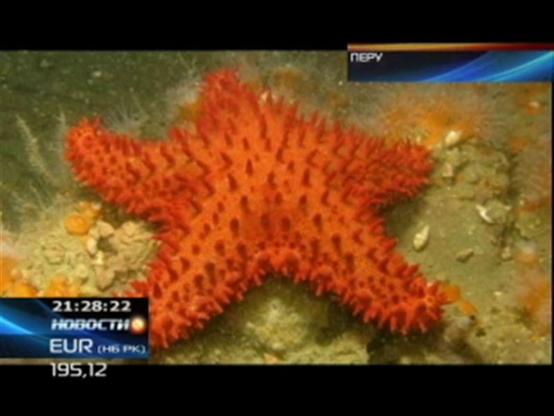 Ученые Перу обнаружили редчайший вид морских звезд