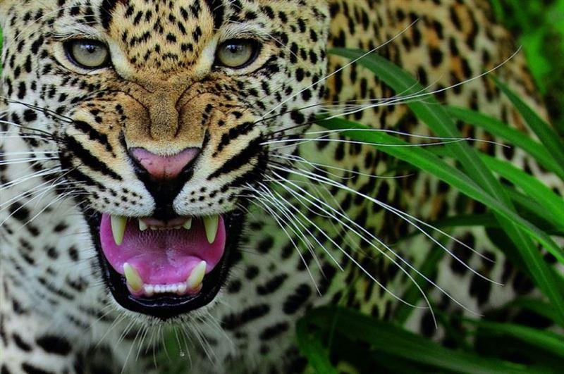 Леопард растерзал пятилетнюю девочку на глазах матери