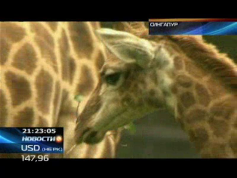 Cингапурский зоопарк: в семье жирафов прибавление