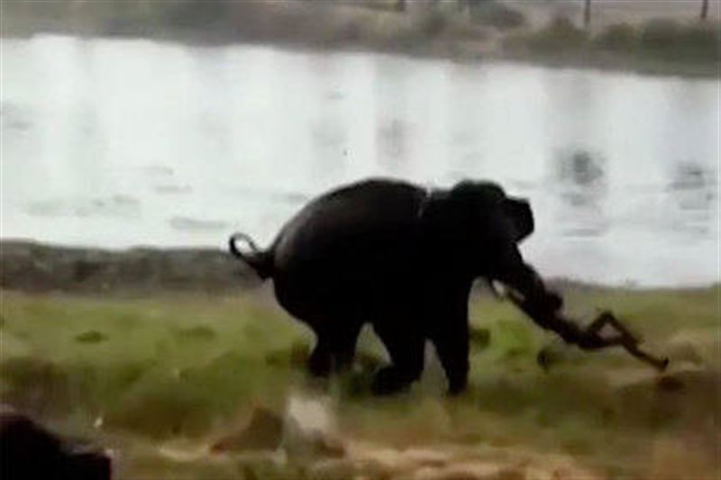 Слон убил браконьера на глазах у его друзей