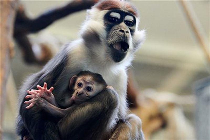 В Китае создали гибридов с мозгом человека и обезьяны