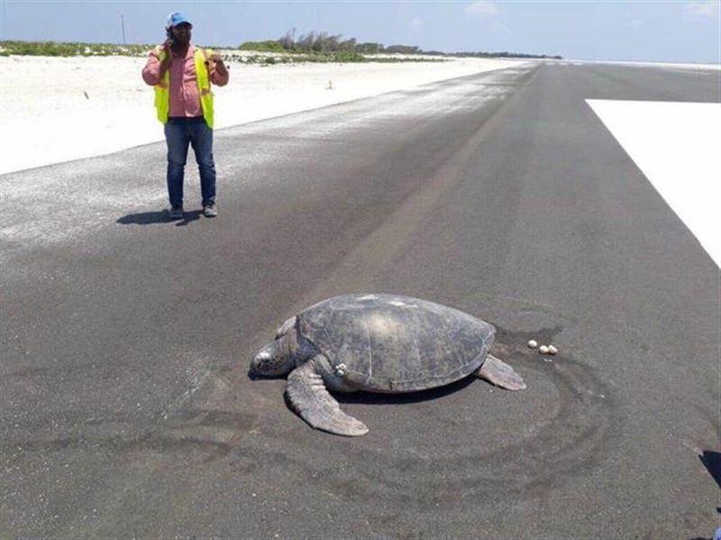 Морская черепаха отложила яйца на взлётной полосе