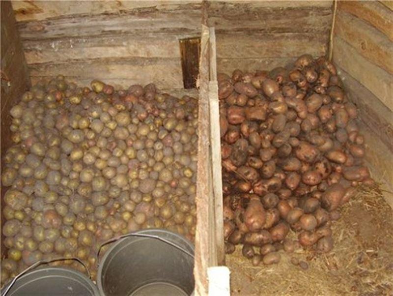 Смерть от картошки: Ребенок и трое мужчин отравились насмерть в погребе