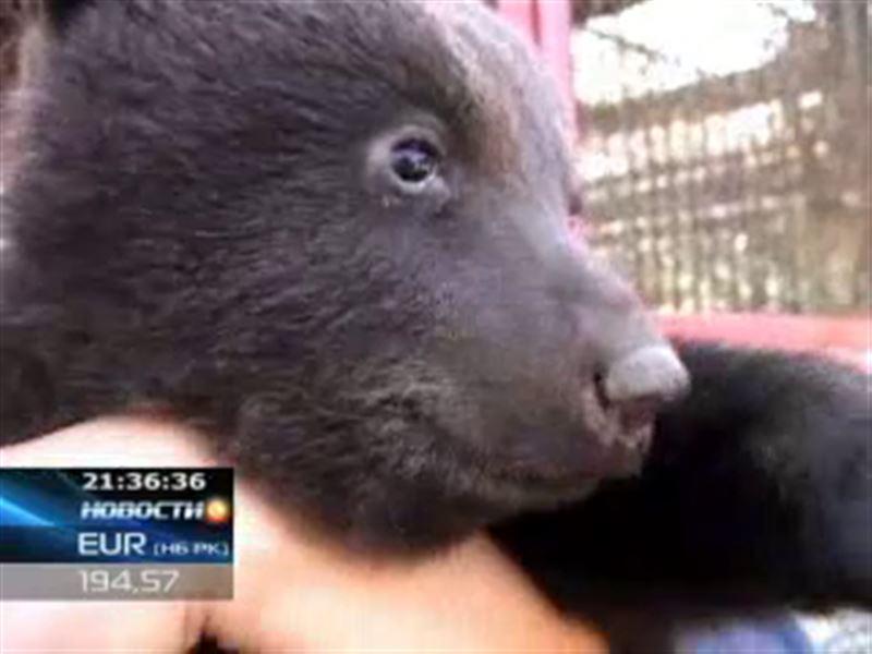В шымкентском зоопарке прошли медвежьи смотрины