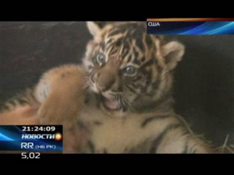 В зоопарке Сан-Диего родились два суматранских тигренка