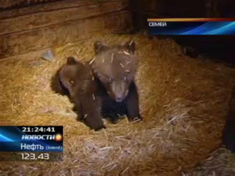 Медвежат из Восточного Казахстана заберут в цирк Никулина