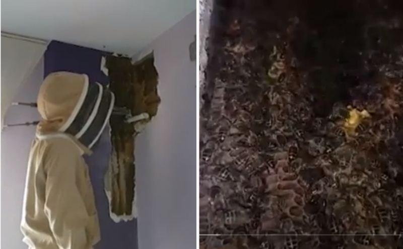 Жатын бөлме қабырғасынан 80 мыңға жуық тірі ара табылды