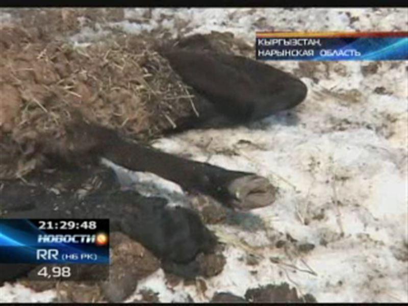 В Кыргызстане массового гибнет домашний скот