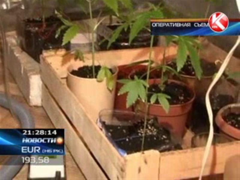 В Кокшетау полицейские обнаружили теплицу с коноплей
