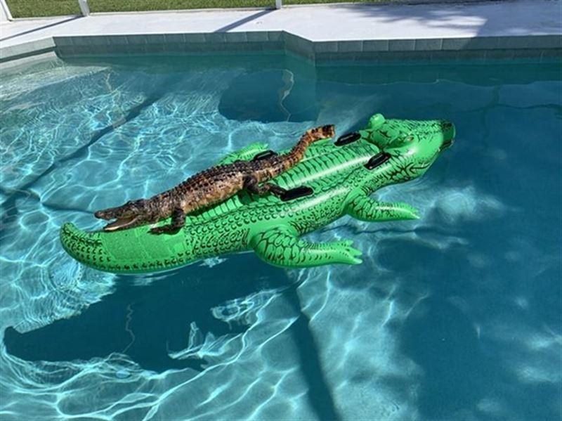 Во Флориде аллигатор плавал на надувном матрасе в бассейне