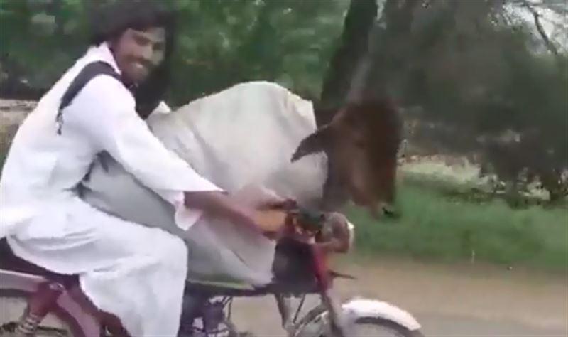 Пользователей сети позабавило видео с коровой на мотоцикле