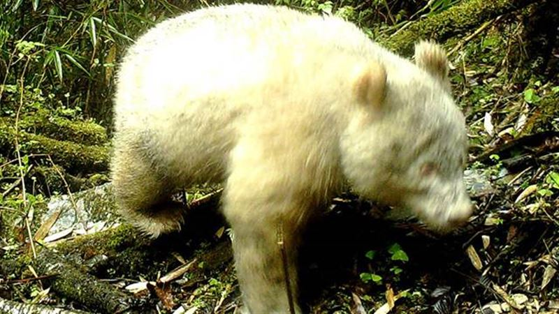 В Китае обнаружили редкую панду-альбиноса