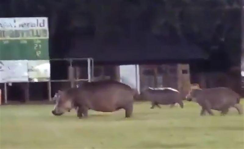 В ЮАР матч по регби был прерван из-за бегемотов