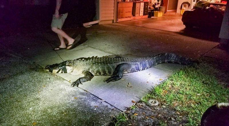 Аллигатор ворвался в дом и уничтожил винный погреб